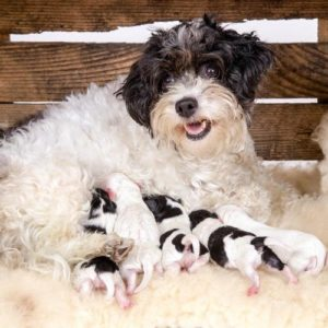 Mama dog nursing puppies in a crate, size 600 by 600